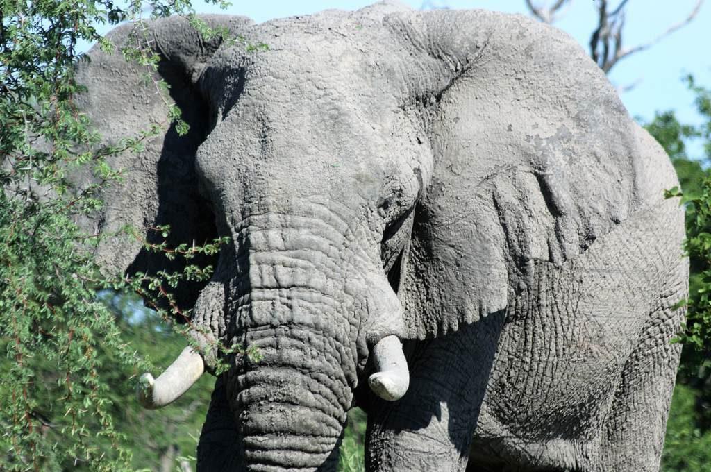 Mud-caked elephant, Botswana