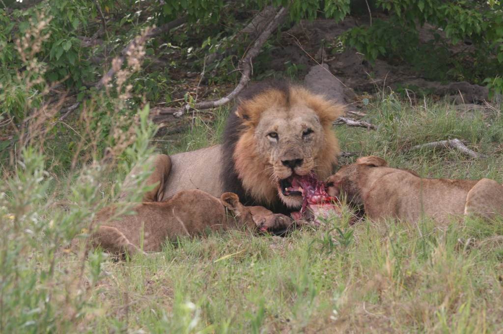 Lion and lionesses feasting on a kill
