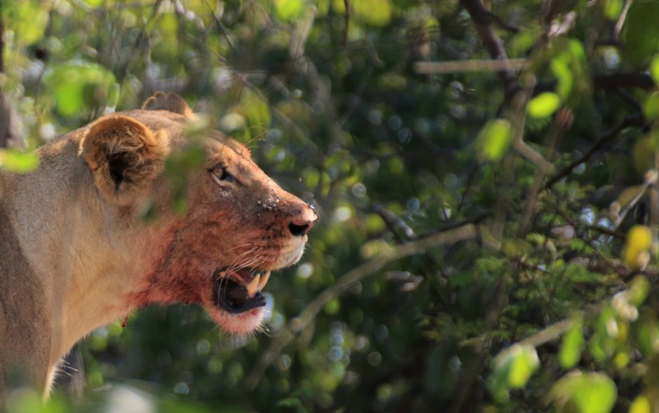 Lioness with bloody face