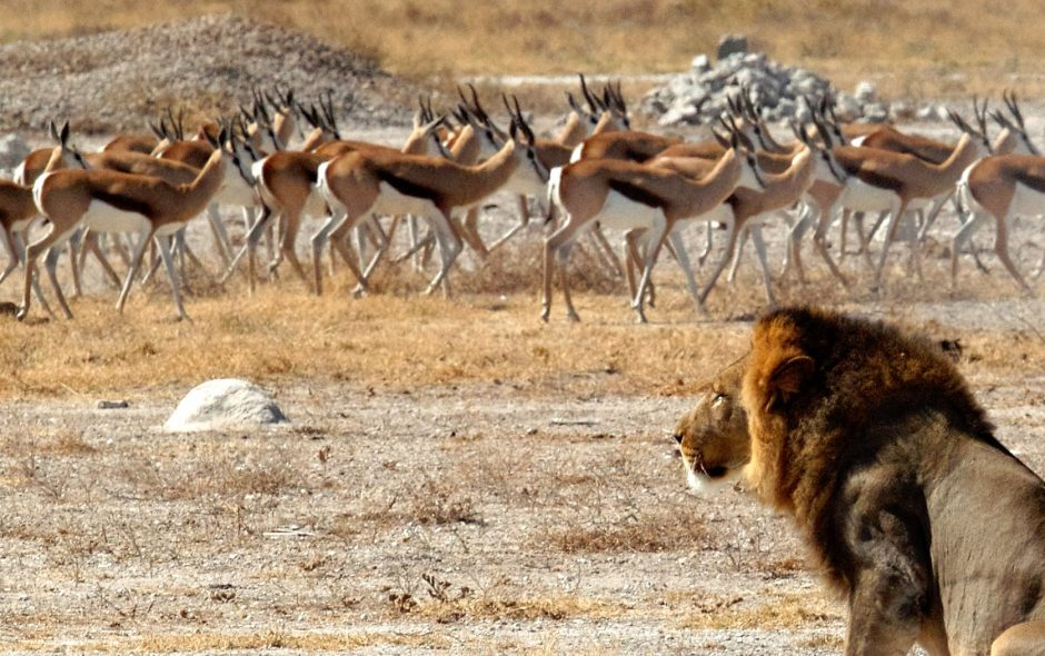 Lion choosing springbok from the herd