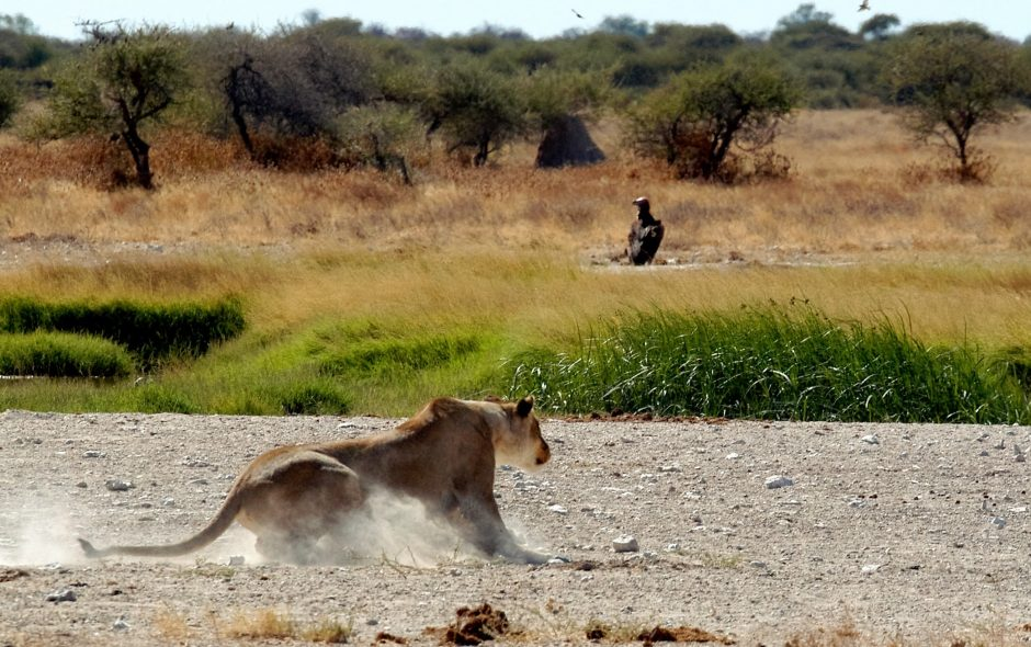 Lioness skidding to a stop, Nxai Pan
