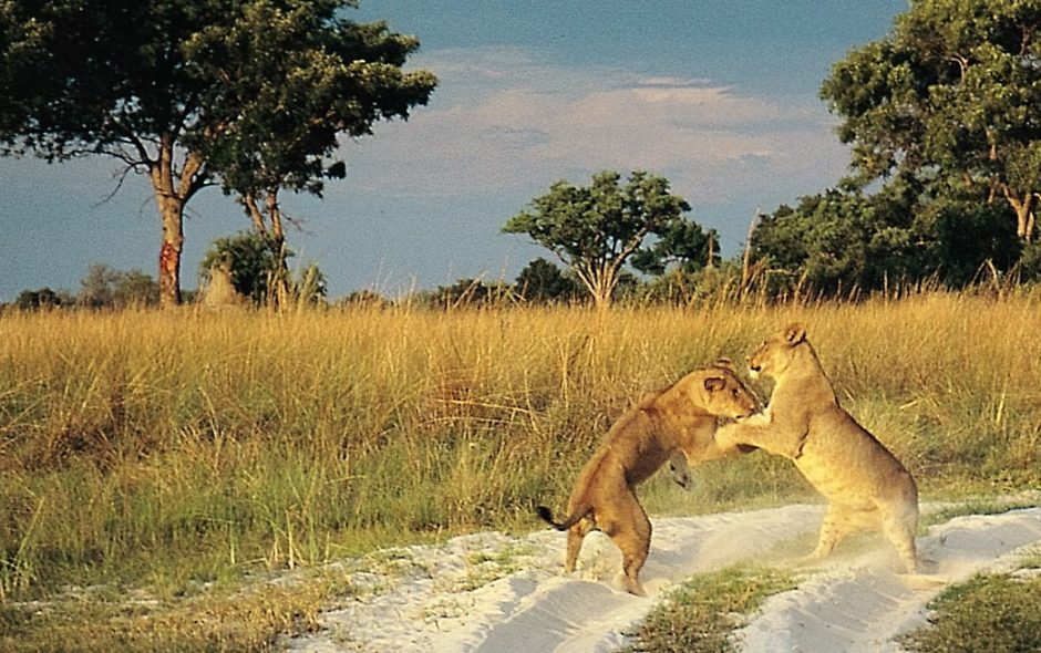 Lions playing, Botswana
