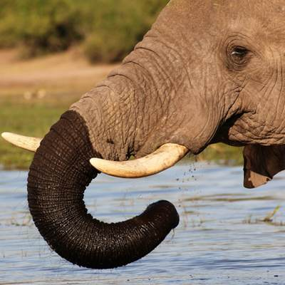 Elephant with wet trunk, Botswana