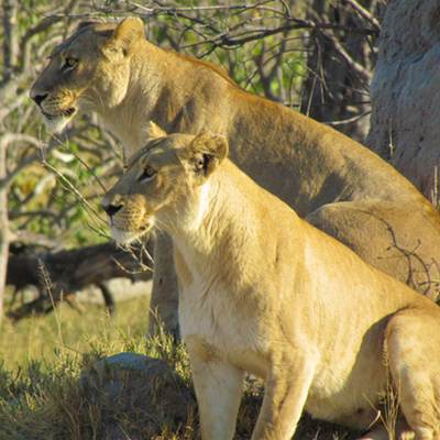 Two lionesses, Botswana