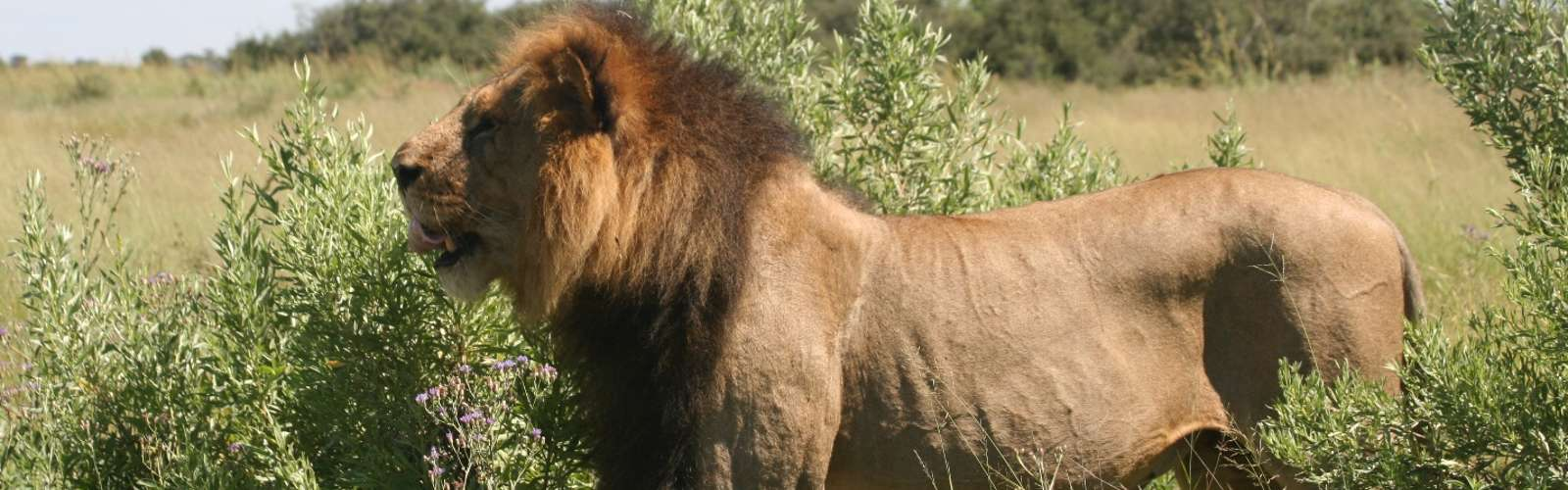 Big male lion, Moremi, Botswana