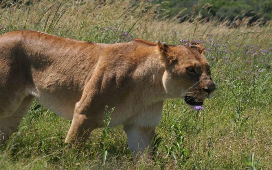 Lioness, Moremi