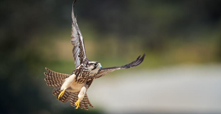 Lanner falcon, Botswana