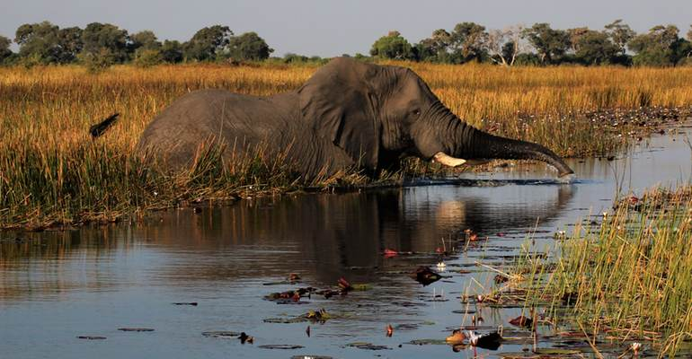 Elephant wading in the Okavango Delta