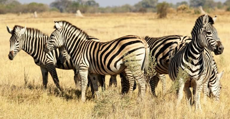 Zebras. Botswana
