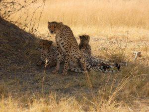 Cheetahs, Moremi