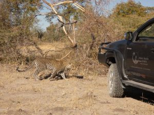Leopard walking past game drive vehicle