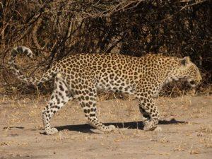 Leopard walking, Moremi