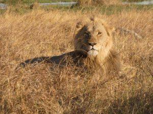 Lion, Moremi