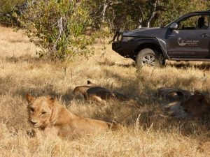 Watching resting lions from game drive vehicle